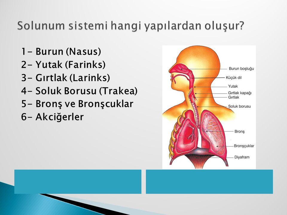 1- Burun (Nasus) 2- Yutak (Farinks) 3- Gırtlak (Larinks) 4- Soluk Borusu (Trakea) 5- Bronş ve Bronşcuklar 6- Akciğerler