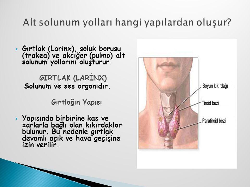  Gırtlak (Larinx), soluk borusu (trakea) ve akciğer (pulmo) alt solunum yollarını oluşturur. GIRTLAK (LARİNX) Solunum ve ses organıdır. Gırtlağın Yap
