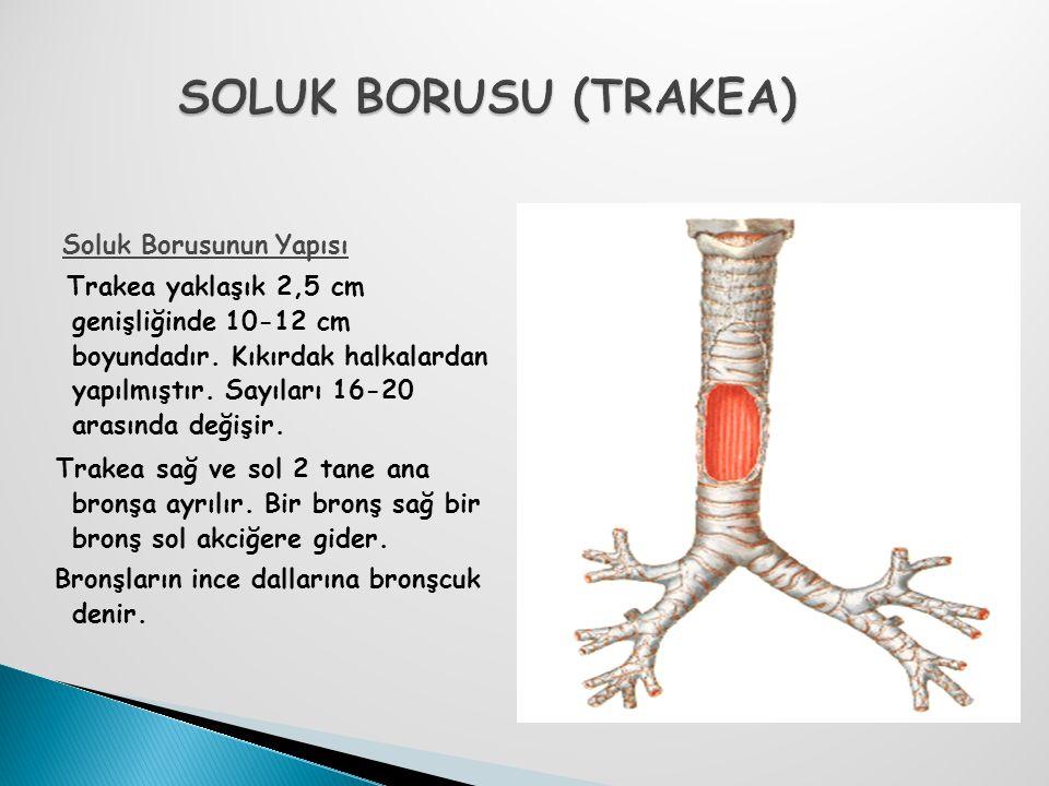 Soluk Borusunun Yapısı Trakea yaklaşık 2,5 cm genişliğinde 10-12 cm boyundadır. Kıkırdak halkalardan yapılmıştır. Sayıları 16-20 arasında değişir. Tra
