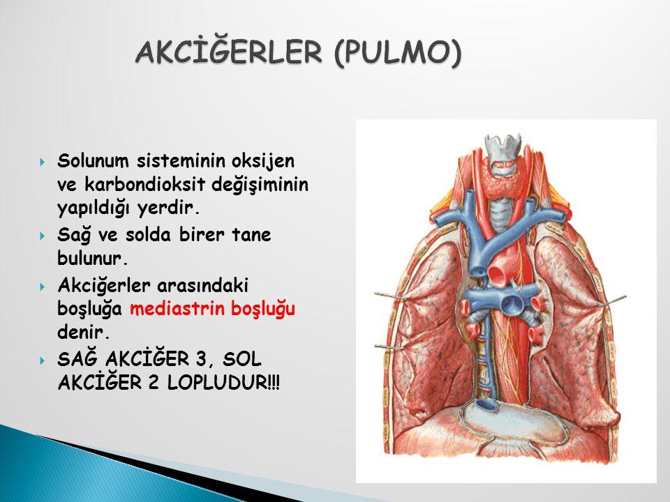 Solunum sisteminin oksijen ve karbondioksit değişiminin yapıldığı yerdir.  Sağ ve solda birer tane bulunur.  Akciğerler arasındaki boşluğa mediast