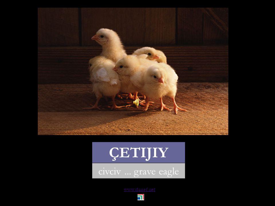 www.danef.net KIW kuğu... swan