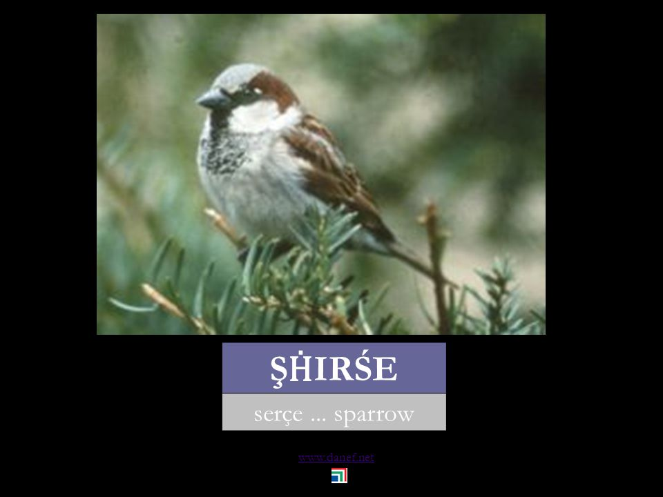 www.danef.net P Ḣ EŞHAĆE BZIW serçe... house sparrow