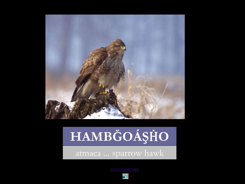 www.danef.net HAMBĞOÁŞ Ḣ O atmaca... sparrow hawk