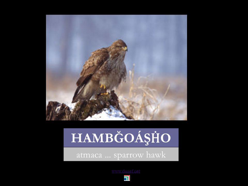 www.danef.net Gubğe tharko kumru... turtle dove