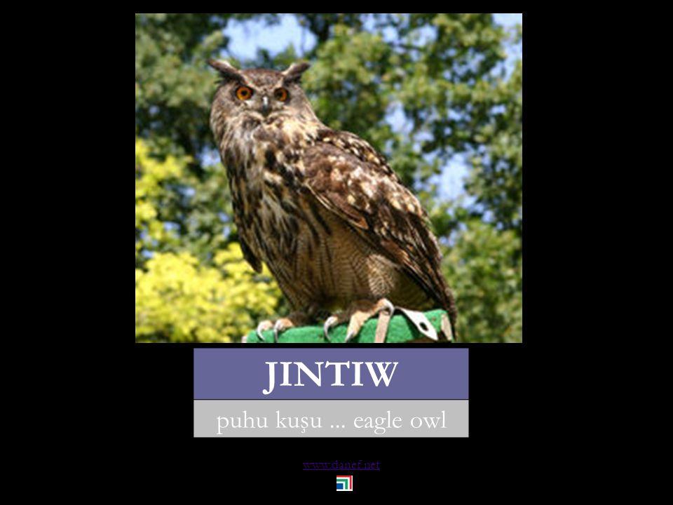 www.danef.net JINTIW puhu kuşu... eagle owl
