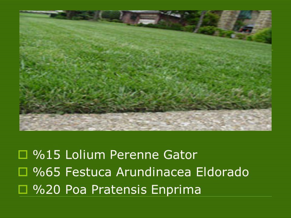  %15 Lolium Perenne Gator  %65 Festuca Arundinacea Eldorado  %20 Poa Pratensis Enprima