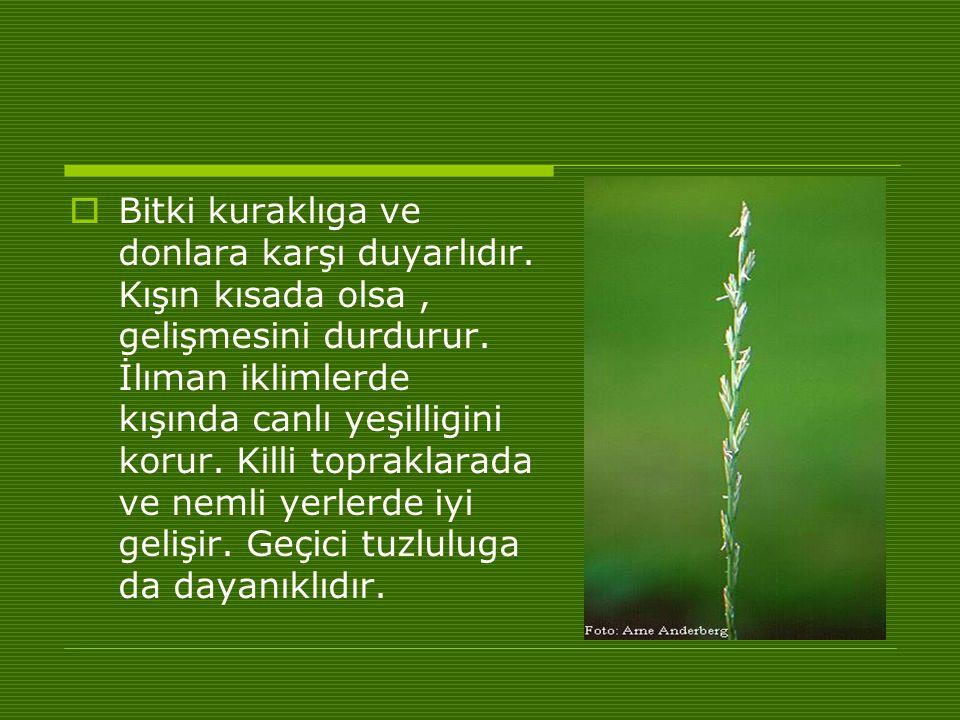  Bitki kuraklıga ve donlara karşı duyarlıdır.Kışın kısada olsa, gelişmesini durdurur.