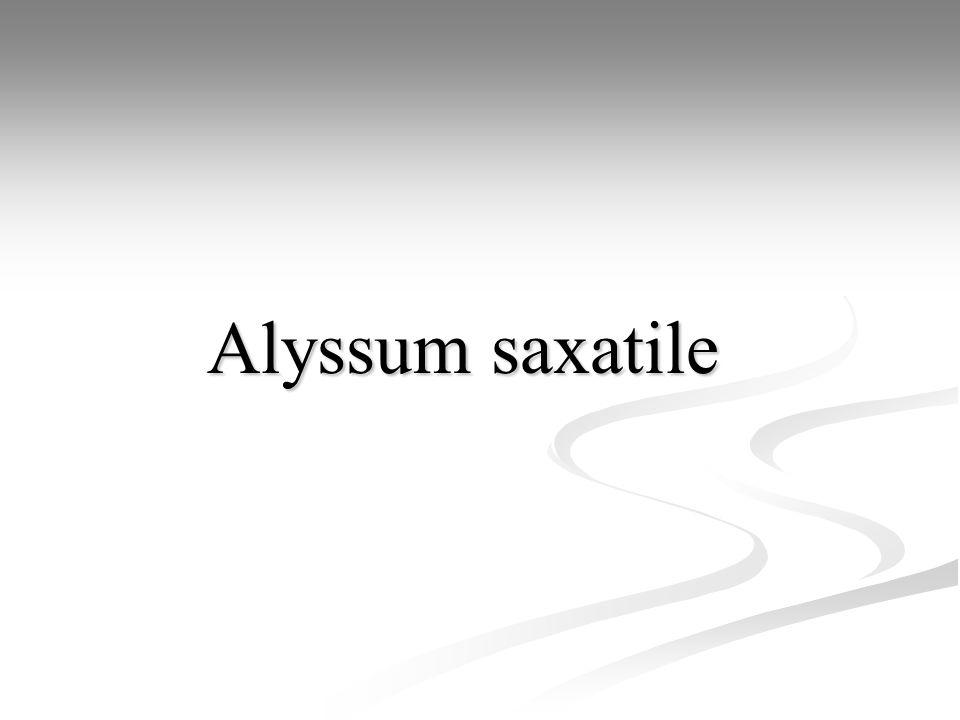 Alyssum saxatile Alyssum saxatile