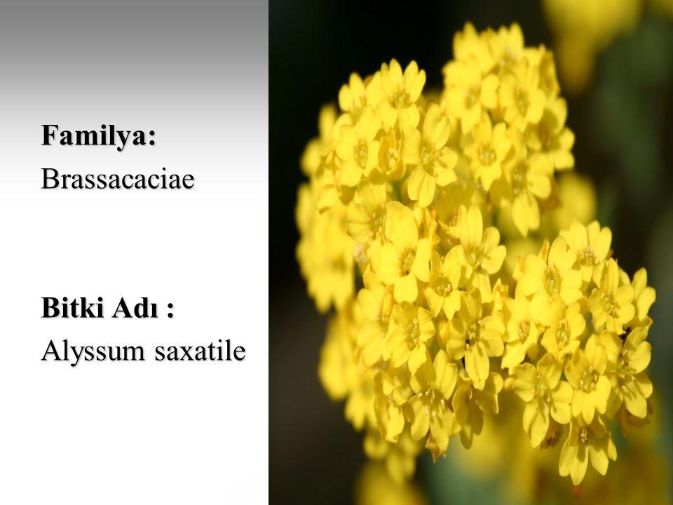 Familya:Brassacaciae Bitki Adı : Alyssum saxatile