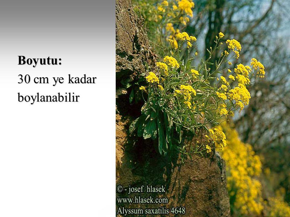 Çok yıllık otsu veya yarı çalı formundadır.Çiçekler parlak altın sarısı renktedir.
