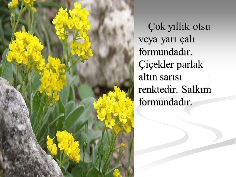 Çok yıllık otsu veya yarı çalı formundadır. Çiçekler parlak altın sarısı renktedir. Salkım formundadır. Çok yıllık otsu veya yarı çalı formundadır. Çi
