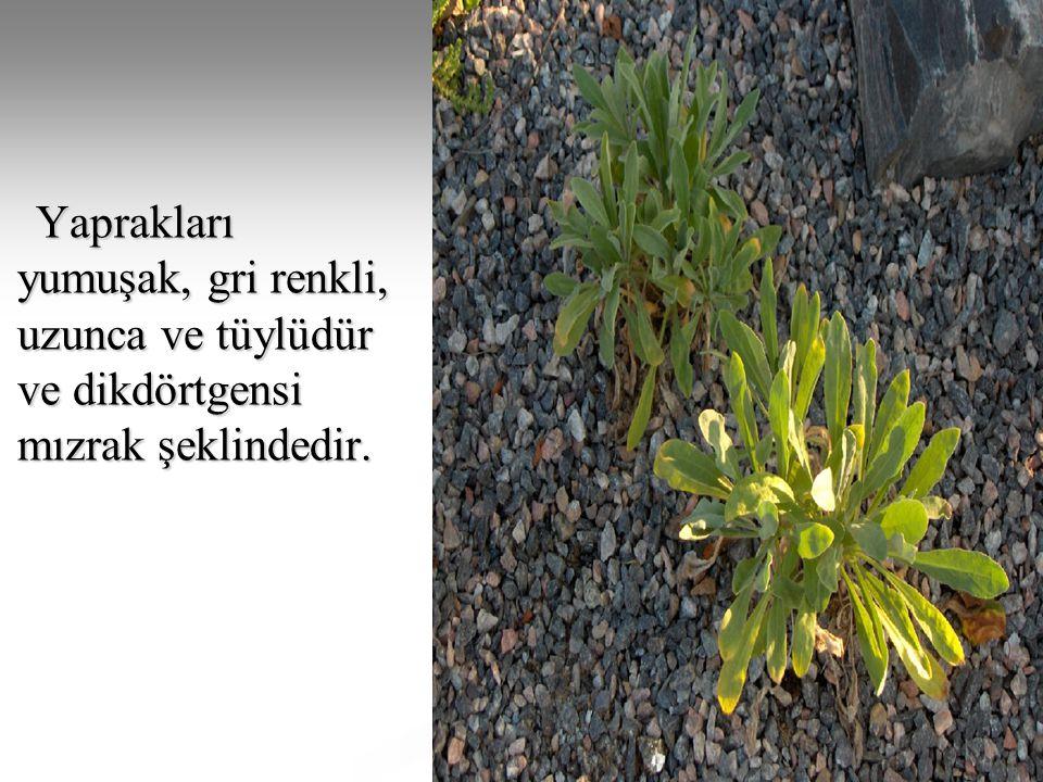 Yaprakları yumuşak, gri renkli, uzunca ve tüylüdür ve dikdörtgensi mızrak şeklindedir. Yaprakları yumuşak, gri renkli, uzunca ve tüylüdür ve dikdörtge