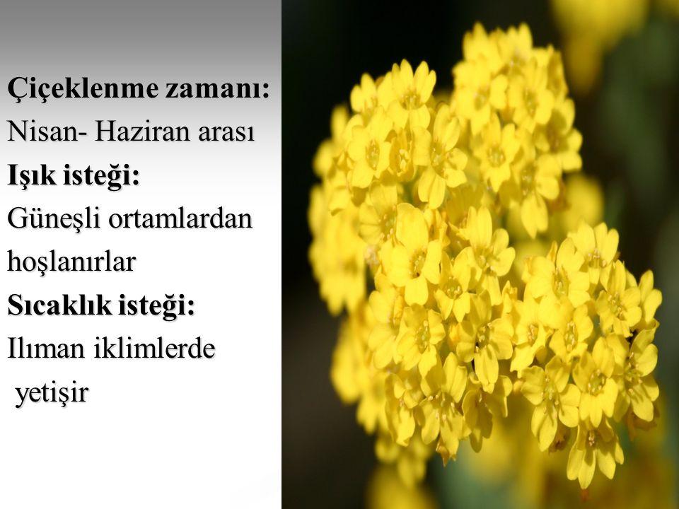 Çiçeklenme zamanı: Nisan- Haziran arası Işık isteği: Güneşli ortamlardan hoşlanırlar Sıcaklık isteği: Ilıman iklimlerde yetişir yetişir
