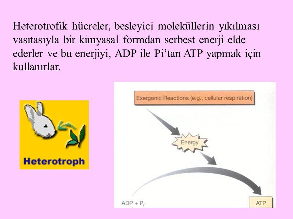 60 Heterotrofik hücreler, besleyici moleküllerin yıkılması vasıtasıyla bir kimyasal formdan serbest enerji elde ederler ve bu enerjiyi, ADP ile Pi'tan