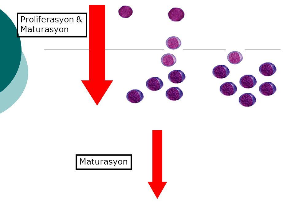 Proliferasyon & Maturasyon