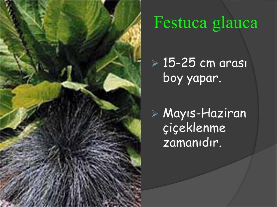 Festuca glauca  15-25 cm arası boy yapar.  Mayıs-Haziran çiçeklenme zamanıdır.