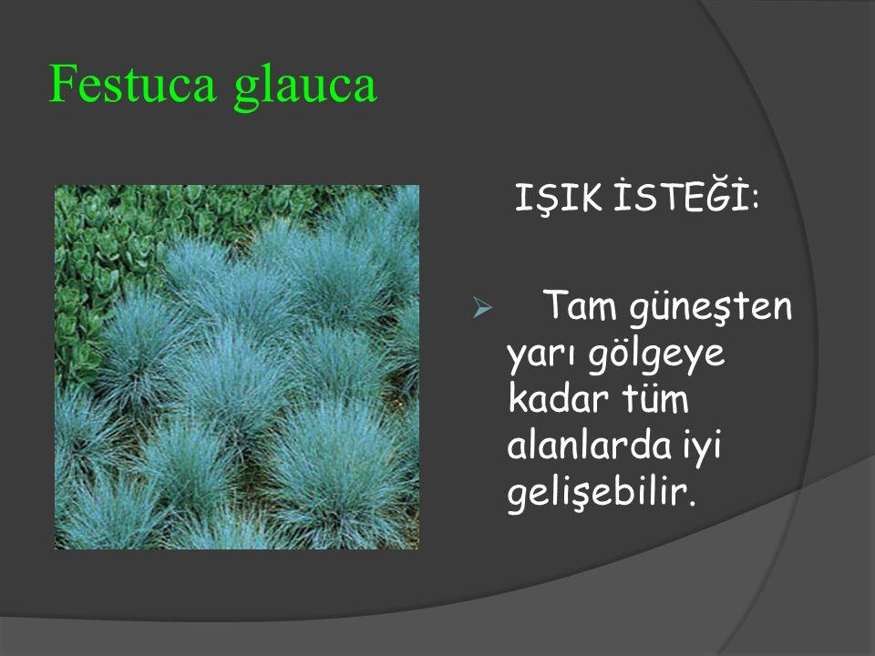 Festuca glauca IŞIK İSTEĞİ:  Tam güneşten yarı gölgeye kadar tüm alanlarda iyi gelişebilir.