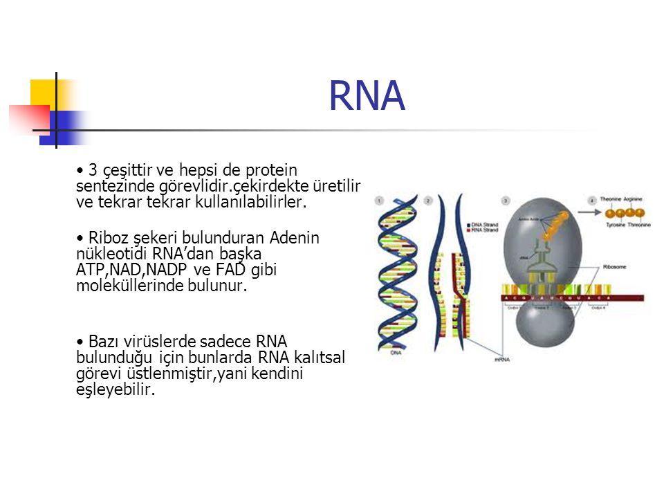 RNA 3 çeşittir ve hepsi de protein sentezinde görevlidir.çekirdekte üretilir ve tekrar tekrar kullanılabilirler.