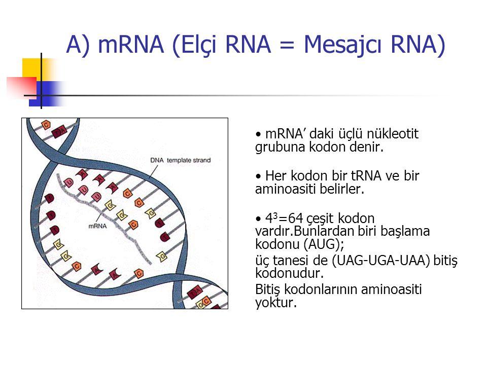A) mRNA (Elçi RNA = Mesajcı RNA) mRNA' daki üçlü nükleotit grubuna kodon denir. Her kodon bir tRNA ve bir aminoasiti belirler. 4 3 =64 çeşit kodon var