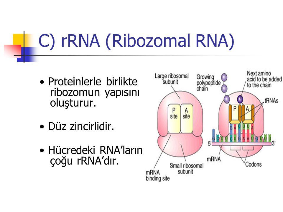 C) rRNA (Ribozomal RNA) Proteinlerle birlikte ribozomun yapısını oluşturur. Düz zincirlidir. Hücredeki RNA'ların çoğu rRNA'dır.