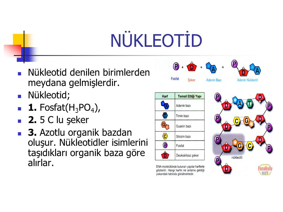 NÜKLEOTİD Nükleotid denilen birimlerden meydana gelmişlerdir. Nükleotid; 1. Fosfat(H 3 PO 4 ), 2. 5 C lu şeker 3. Azotlu organik bazdan oluşur. Nükleo