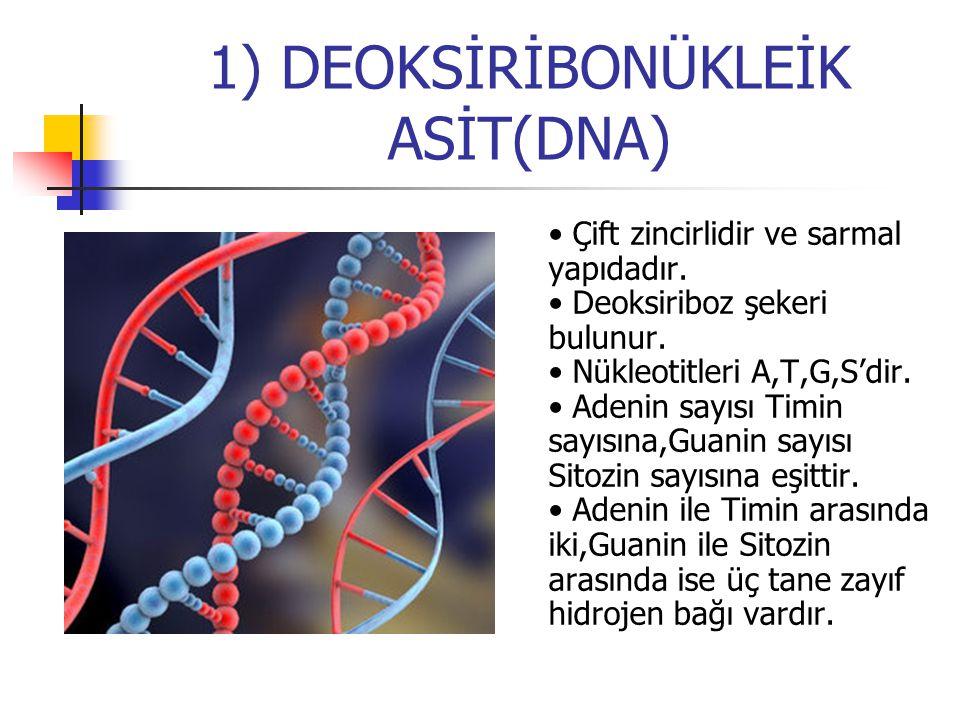 1) DEOKSİRİBONÜKLEİK ASİT(DNA) Çift zincirlidir ve sarmal yapıdadır. Deoksiriboz şekeri bulunur. Nükleotitleri A,T,G,S'dir. Adenin sayısı Timin sayısı