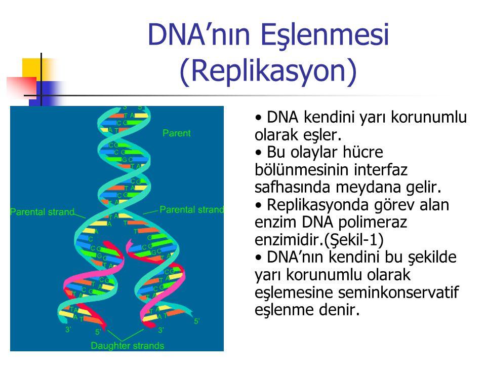 DNA'nın Eşlenmesi (Replikasyon) DNA kendini yarı korunumlu olarak eşler. Bu olaylar hücre bölünmesinin interfaz safhasında meydana gelir. Replikasyond