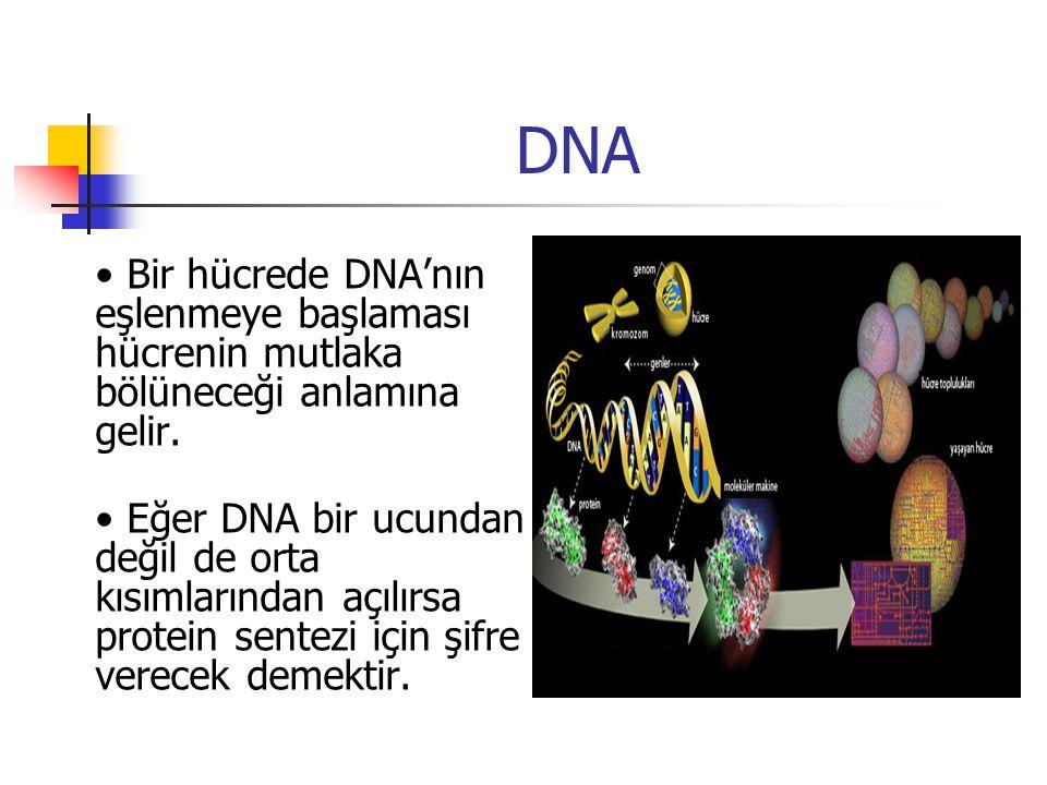 DNA Bir hücrede DNA'nın eşlenmeye başlaması hücrenin mutlaka bölüneceği anlamına gelir. Eğer DNA bir ucundan değil de orta kısımlarından açılırsa prot