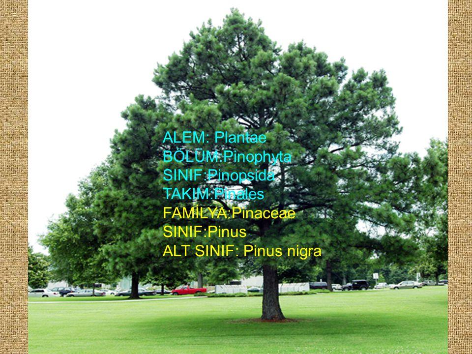 ALEM: Plantae BÖLÜM:Pinophyta SINIF:Pinopsida TAKIM:Pinales FAMİLYA:Pinaceae SINIF:Pinus ALT SINIF: Pinus nigra