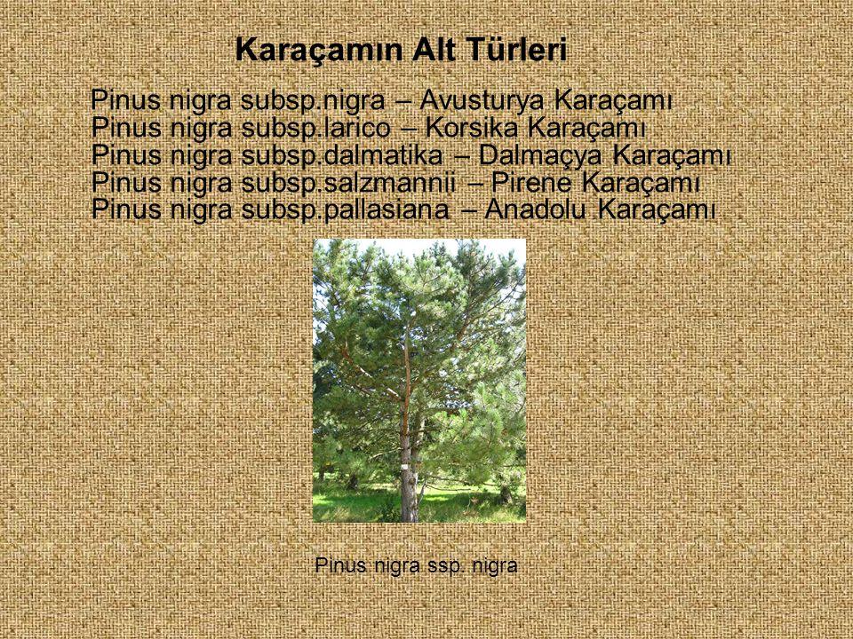 Pinus nigra subsp.nigra – Avusturya Karaçamı Pinus nigra subsp.larico – Korsika Karaçamı Pinus nigra subsp.dalmatika – Dalmaçya Karaçamı Pinus nigra s