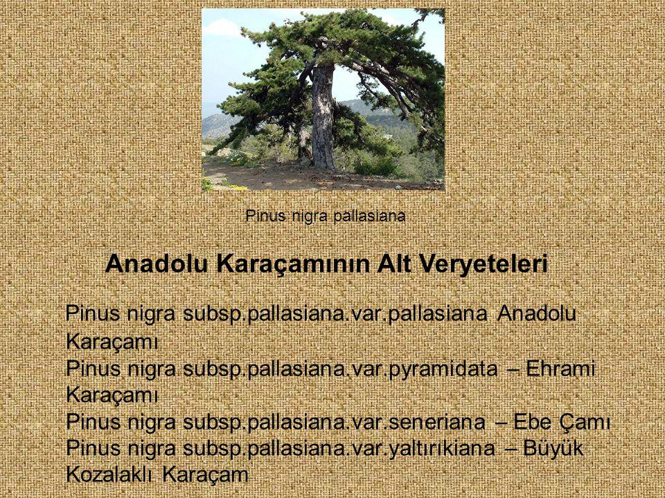 Pinus nigra subsp.pallasiana.var.pallasiana Anadolu Karaçamı Pinus nigra subsp.pallasiana.var.pyramidata – Ehrami Karaçamı Pinus nigra subsp.pallasian