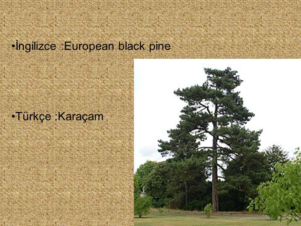 İngilizce :European black pine Türkçe :Karaçam