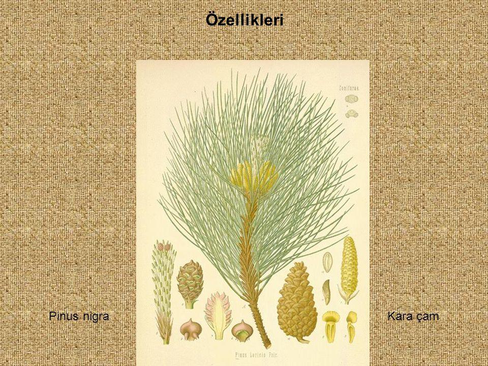 Özellikleri Pinus nigraKara çam