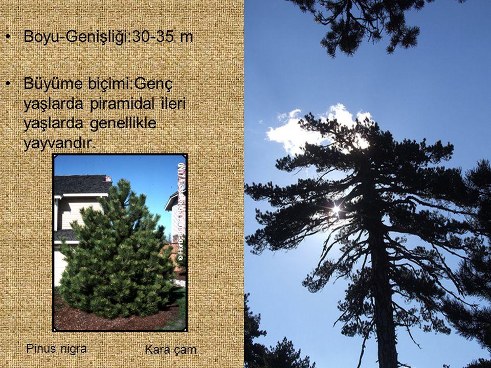 Boyu-Genişliği:30-35 m Büyüme biçimi:Genç yaşlarda piramidal ileri yaşlarda genellikle yayvandır. Pinus nigra Kara çam