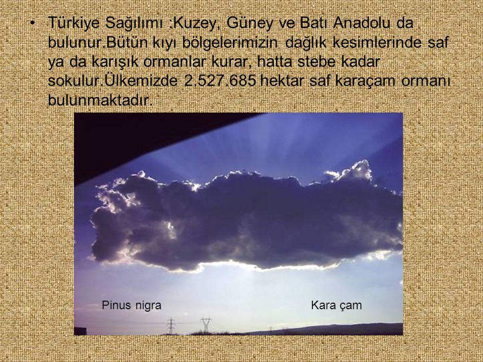 Türkiye Sağılımı :Kuzey, Güney ve Batı Anadolu da bulunur.Bütün kıyı bölgelerimizin dağlık kesimlerinde saf ya da karışık ormanlar kurar, hatta stebe