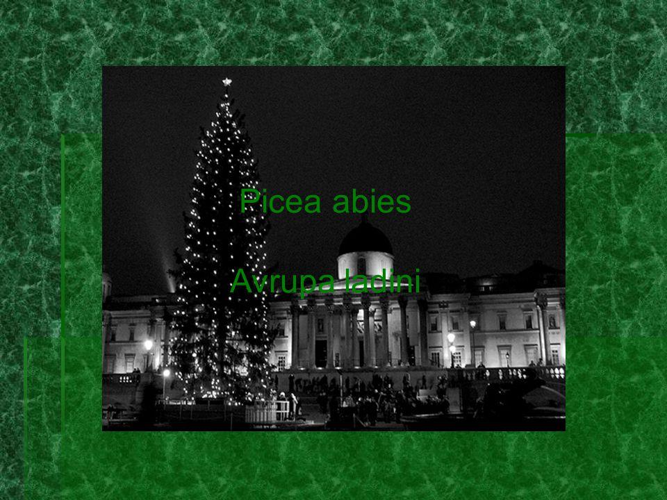 Picea abies Avrupa ladini