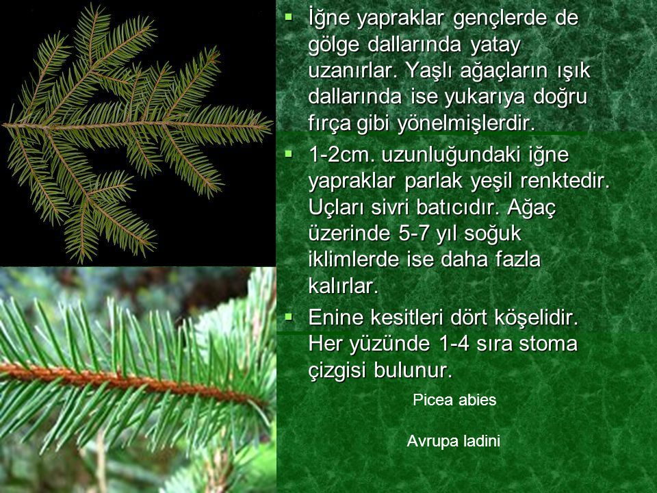  İğne yapraklar gençlerde de gölge dallarında yatay uzanırlar. Yaşlı ağaçların ışık dallarında ise yukarıya doğru fırça gibi yönelmişlerdir.  1-2cm.