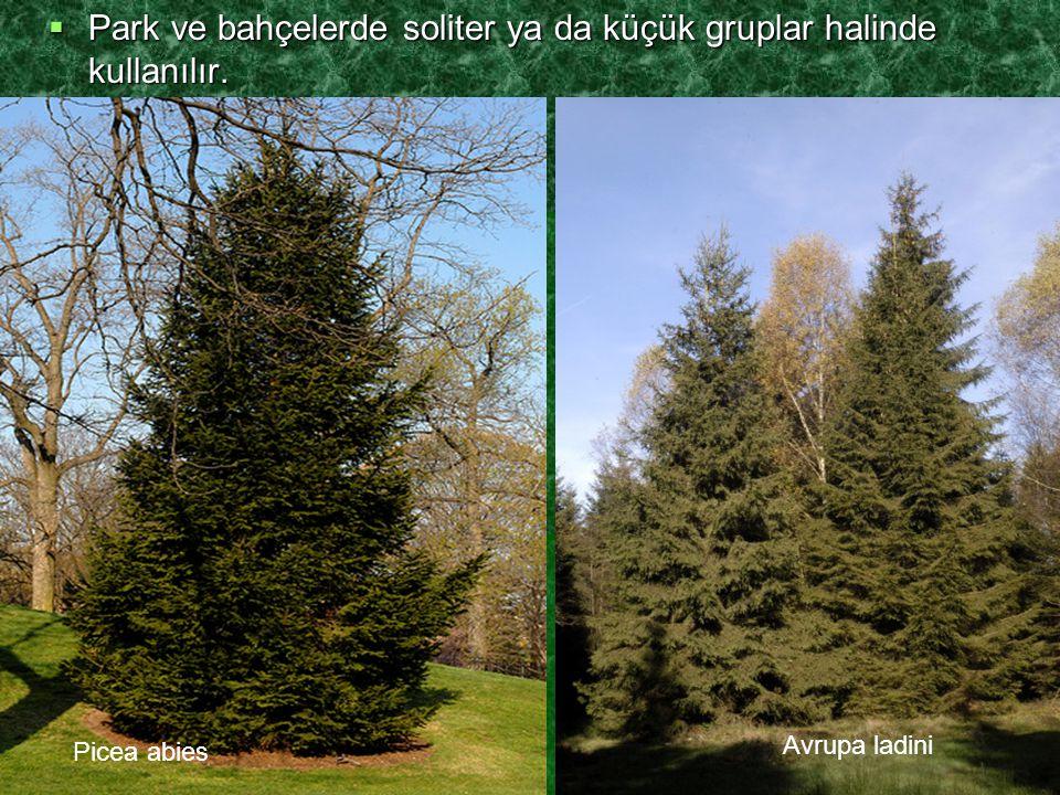  Park ve bahçelerde soliter ya da küçük gruplar halinde kullanılır. Picea abies Avrupa ladini