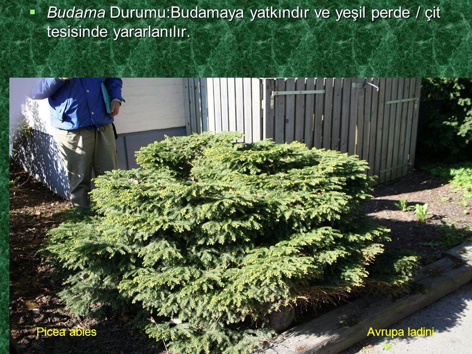  Budama Durumu:Budamaya yatkındır ve yeşil perde / çit tesisinde yararlanılır. Picea abiesAvrupa ladini