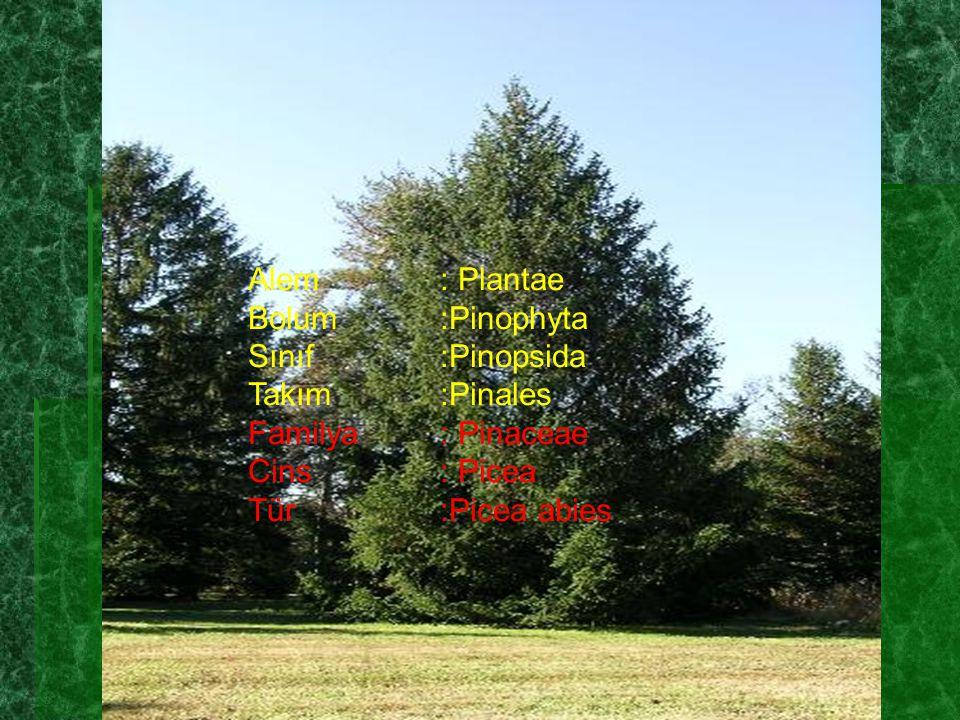 Alem: Plantae Bolum:Pinophyta Sınıf:Pinopsida Takım:Pinales Familya: Pinaceae Cins: Picea Tür:Picea abies