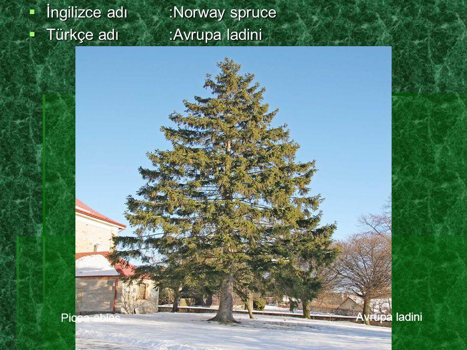  Boyu ve genişliği:45 – 50m boylanabiliyor.