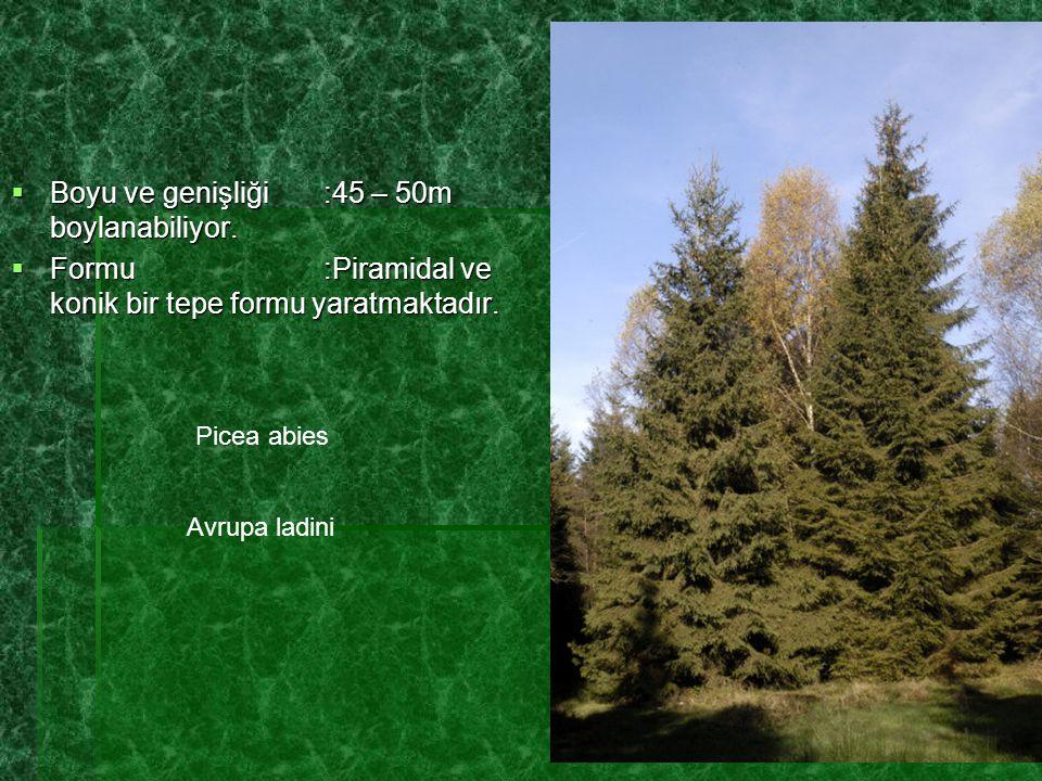  Boyu ve genişliği:45 – 50m boylanabiliyor.  Formu:Piramidal ve konik bir tepe formu yaratmaktadır. Picea abies Avrupa ladini