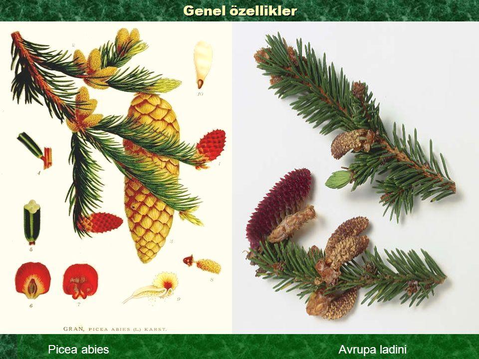  Çok yavaş büyüyen herdem yeşil peyzaj ağacıdır.Büyümesi bir kuş yuvası şeklinde devam eder.