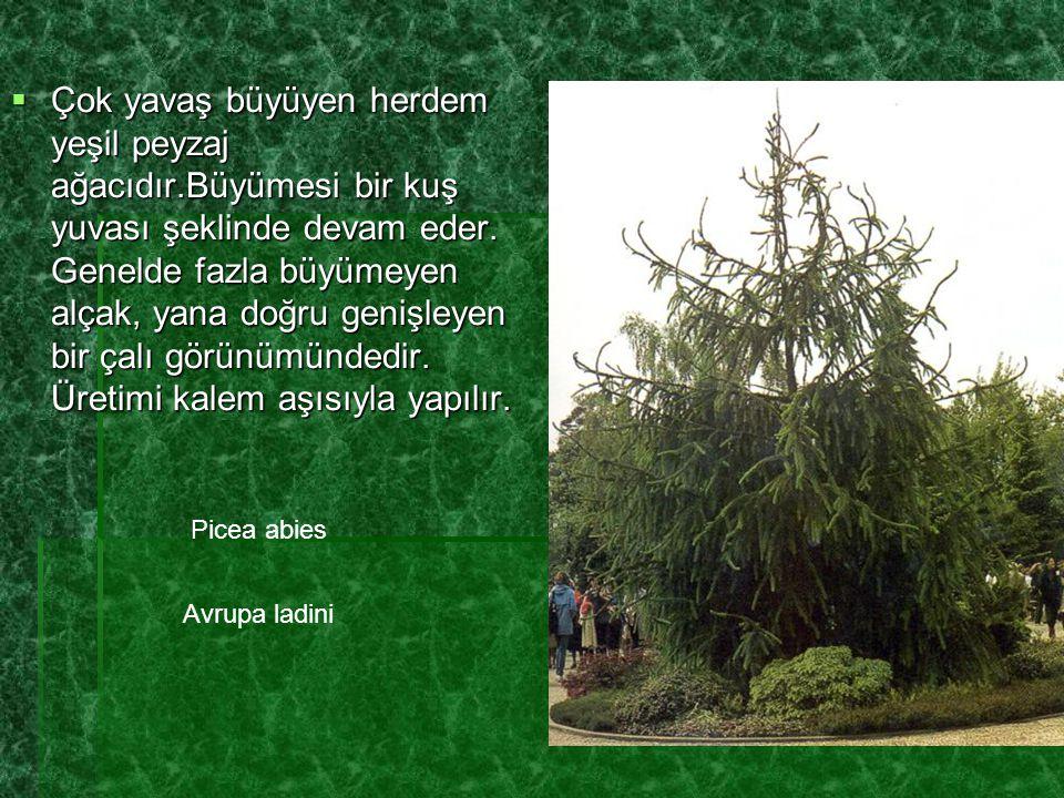  Çok yavaş büyüyen herdem yeşil peyzaj ağacıdır.Büyümesi bir kuş yuvası şeklinde devam eder. Genelde fazla büyümeyen alçak, yana doğru genişleyen bir