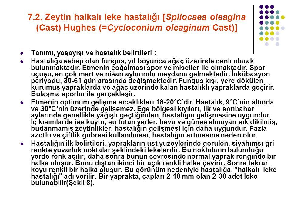 7.2. Zeytin halkalı leke hastalığı [Spilocaea oleagina (Cast) Hughes (=Cycloconium oleaginum Cast)] Tanımı, yaşayışı ve hastalık belirtileri : Hastalı