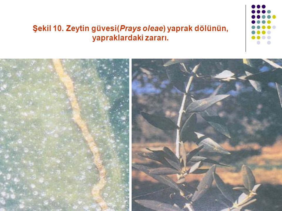Şekil 10. Zeytin güvesi(Prays oleae) yaprak dölünün, yapraklardaki zararı.