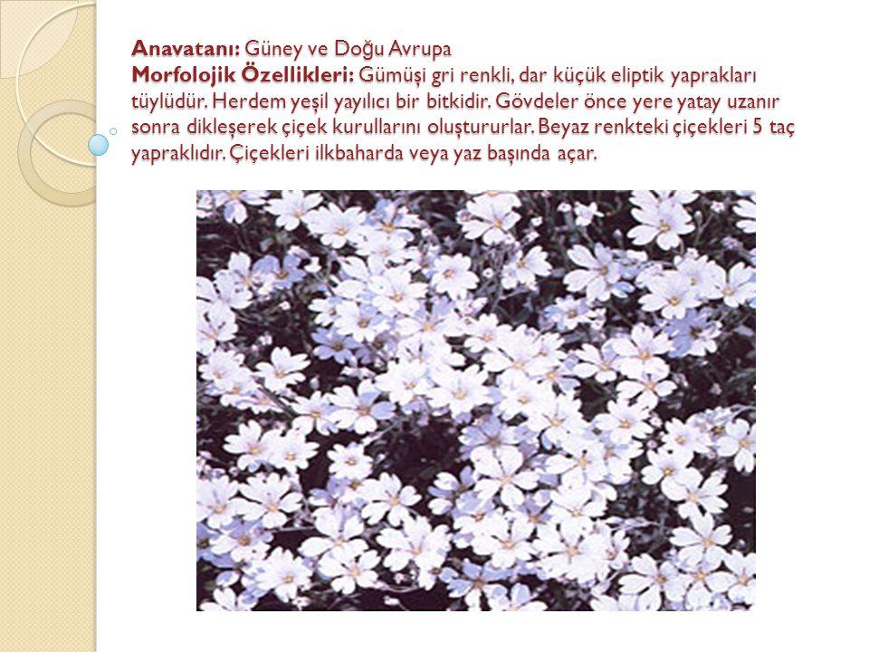 Anavatanı: Güney ve Do ğ u Avrupa Morfolojik Özellikleri: Gümüşi gri renkli, dar küçük eliptik yaprakları tüylüdür. Herdem yeşil yayılıcı bir bitkidir