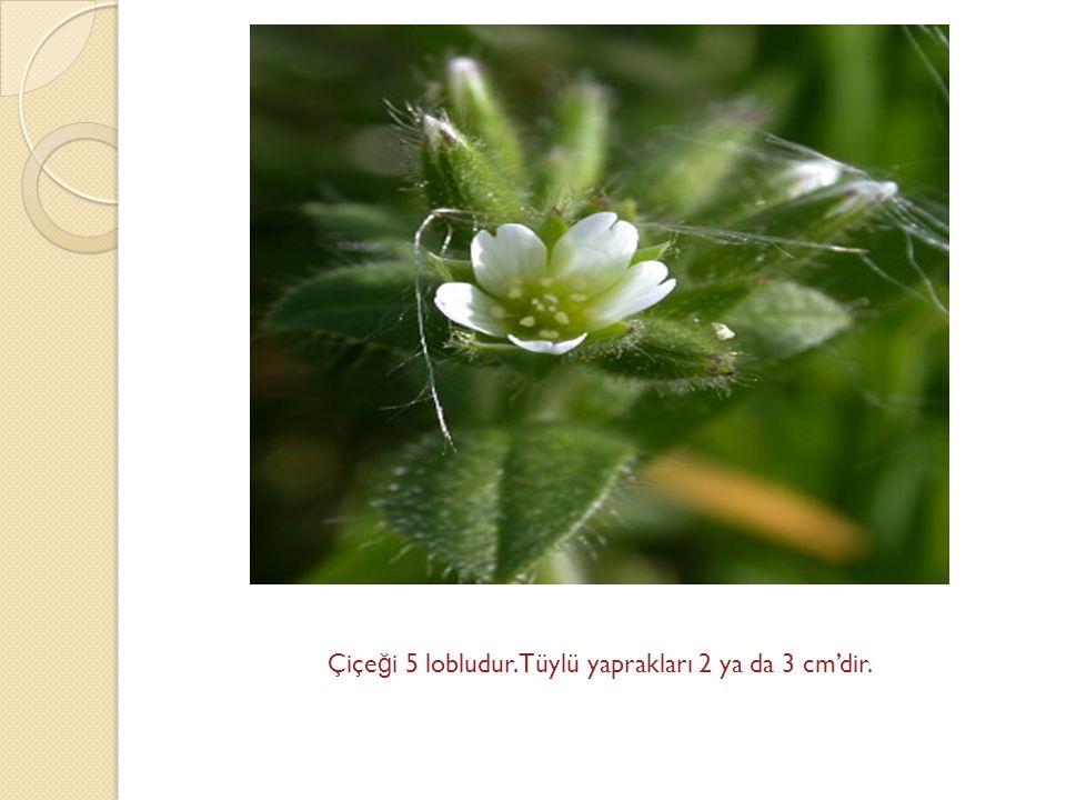 Çiçe ğ i 5 lobludur.Tüylü yaprakları 2 ya da 3 cm'dir.