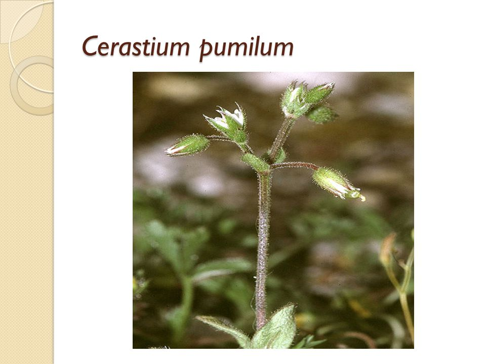 Yaprakları yeşil ve tüylüdür.Göze çarpan merkezi damarlar vardır.