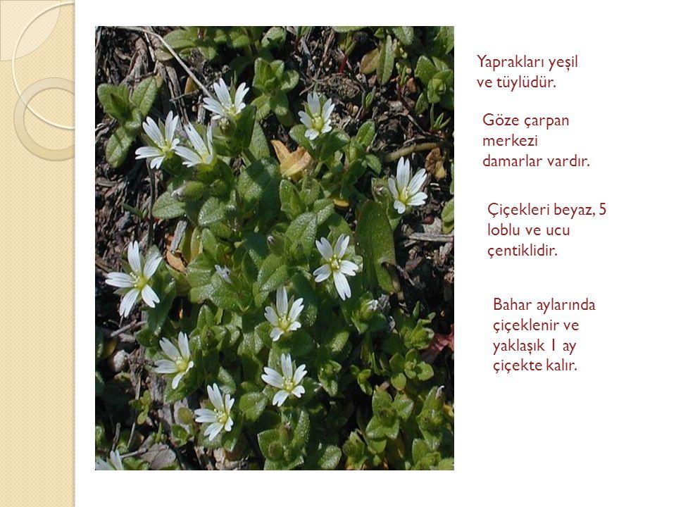 Yaprakları yeşil ve tüylüdür. Göze çarpan merkezi damarlar vardır. Çiçekleri beyaz, 5 loblu ve ucu çentiklidir. Bahar aylarında çiçeklenir ve yaklaşık